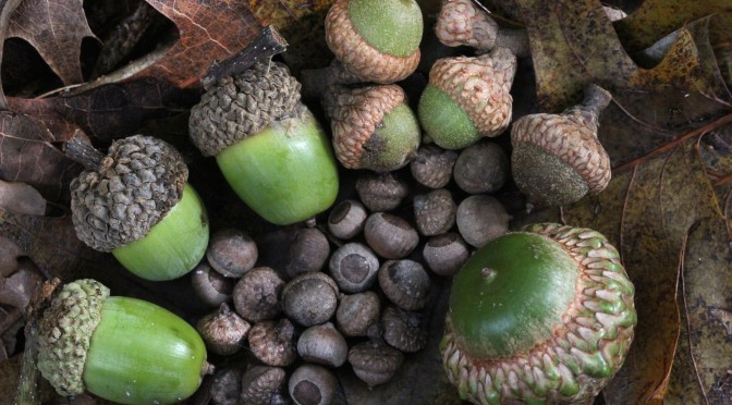Acorns_small_to_large